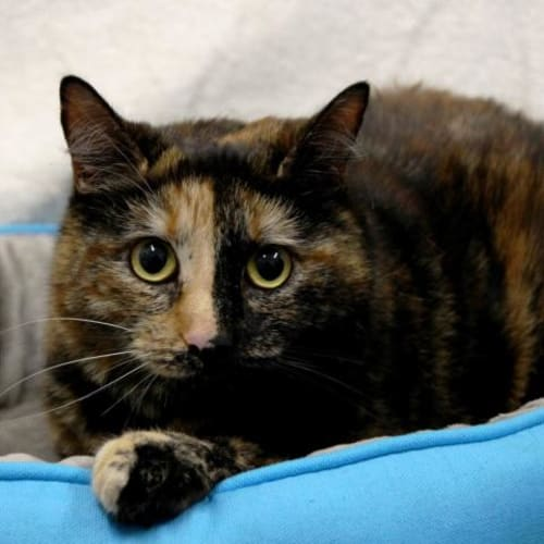 Jenny - Impound Number 4254 - Domestic Short Hair Cat