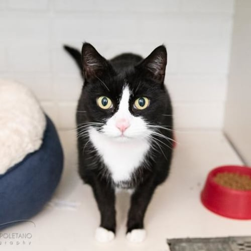 Princess - Impound Number 2793 - Domestic Short Hair Cat
