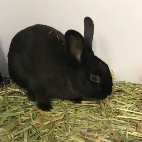 Wilma - Rex Rabbit