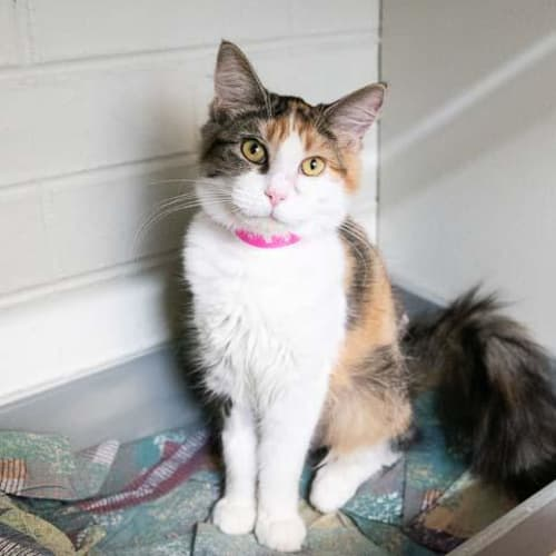 Marcia - Impound Number 2808 - Domestic Short Hair Cat