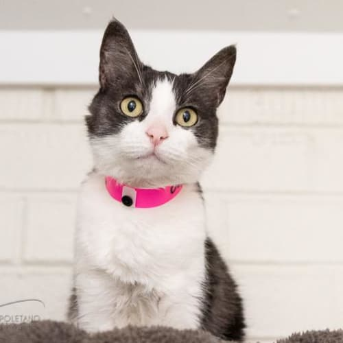 Cleo - Impound Number 2982 - Domestic Short Hair Cat