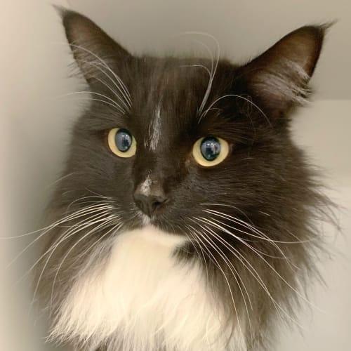 Claudius - Visit Me at PET Stock Cannington - Domestic Long Hair Cat
