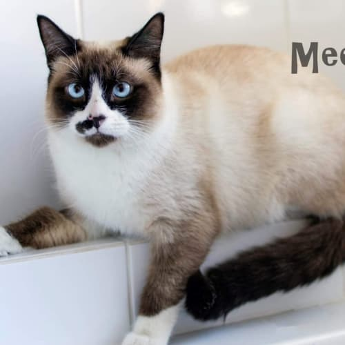 Meeko - Ragdoll Cat