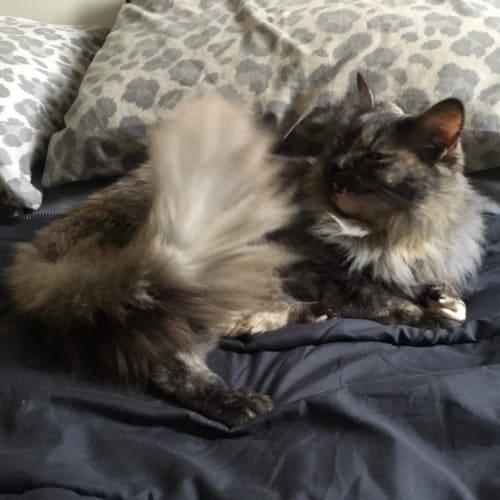 Shiah - Domestic Long Hair Cat