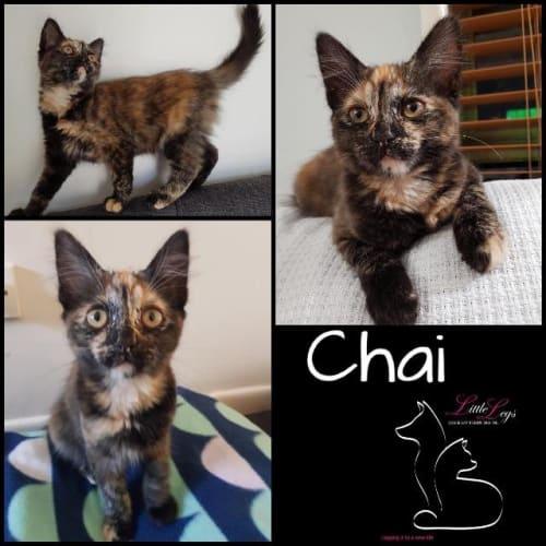 Chai - Domestic Medium Hair Cat