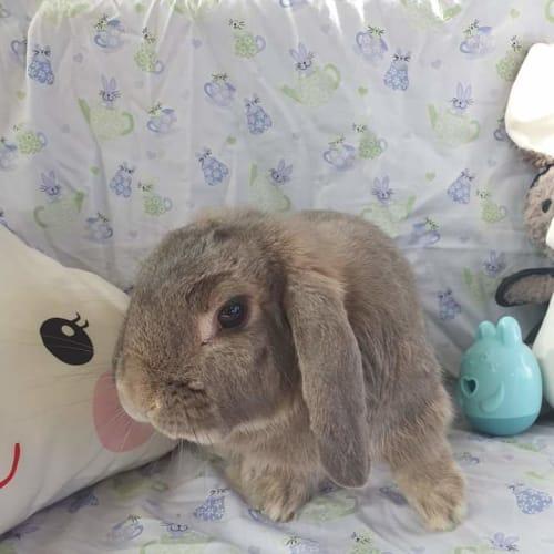 Robbie - Dwarf lop Rabbit