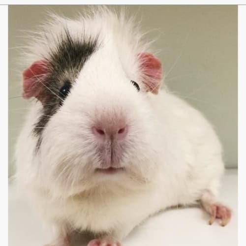 Patch  - Abyssinian Guinea Pig