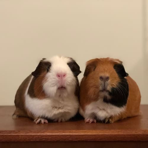 Dotty and Spotty - Smooth Hair Guinea Pig