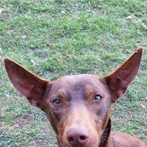 Tiko - Kelpie Dog