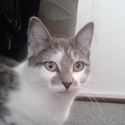 Anastasia - Domestic Short Hair Cat