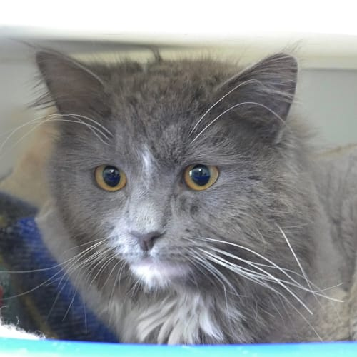 Honcho STA004247 - Domestic Medium Hair Cat