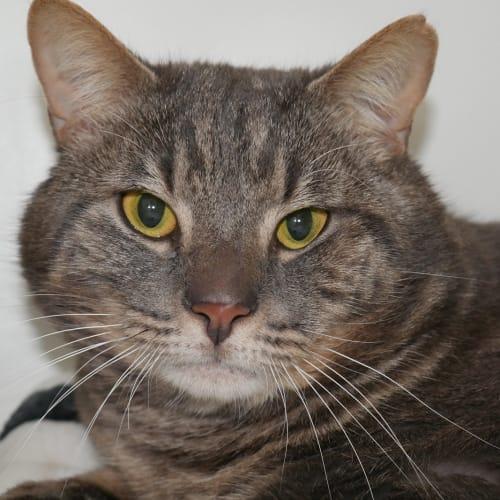 Obi SUA004259 - Domestic Short Hair Cat