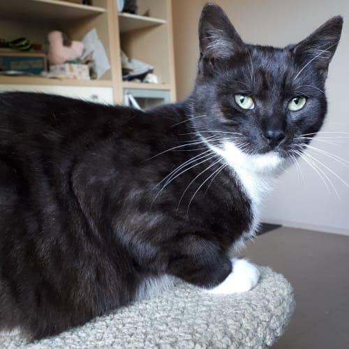 Schmoke - Domestic Short Hair Cat