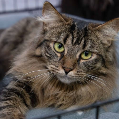 Stevie**On Trial With My New Family** - Domestic Medium Hair Cat