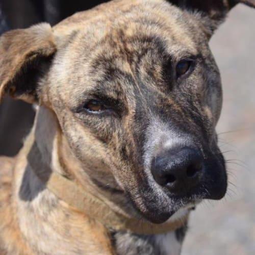 Peblo - Rhodesian Ridgeback x Mixed Breed Dog
