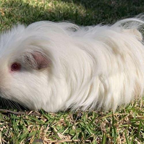 Cinnamon -  Guinea Pig