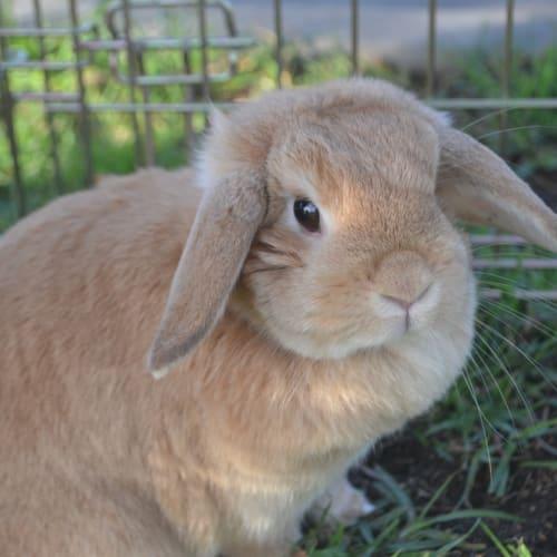 Cherry-Buns - Mini Lop Rabbit