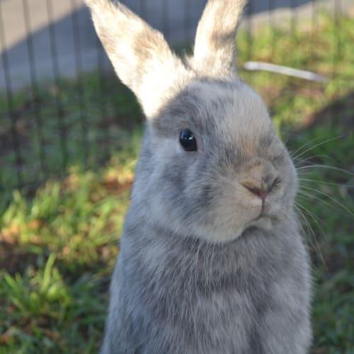 Marley - Netherland Dwarf Rabbit