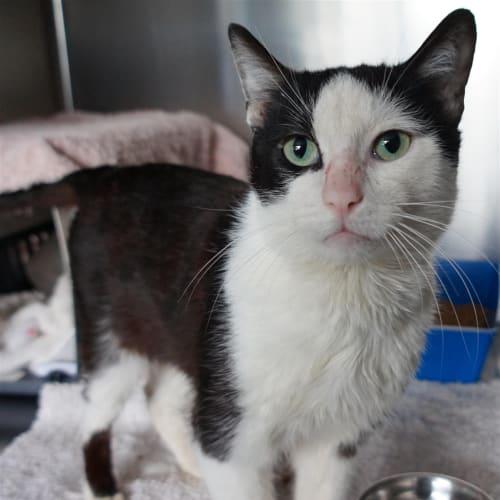 Bosley - Domestic Short Hair Cat