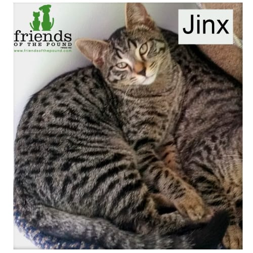 Jinx - Domestic Short Hair Cat