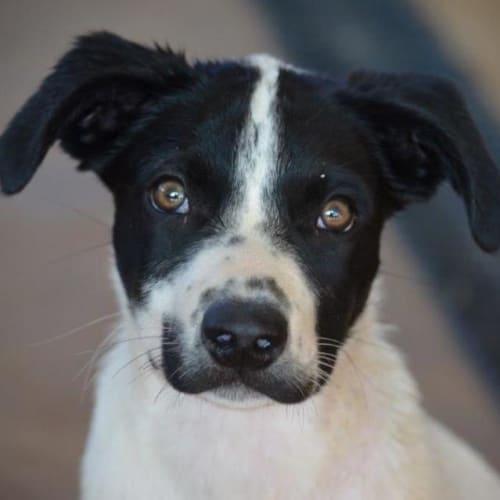 Morris - Kelpie x Mixed Breed Dog