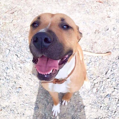 Maggie - Mastiff Dog