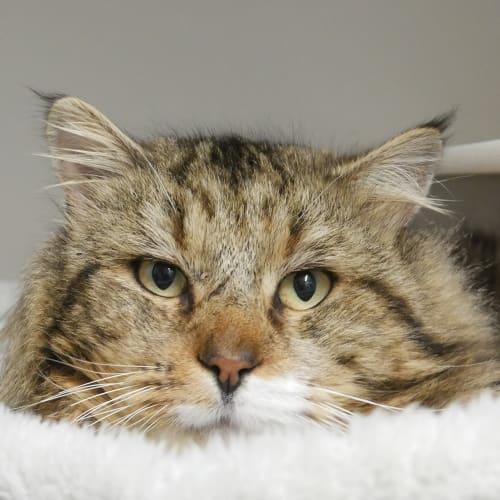 Chairman Meow SUA004225 - Domestic Medium Hair Cat