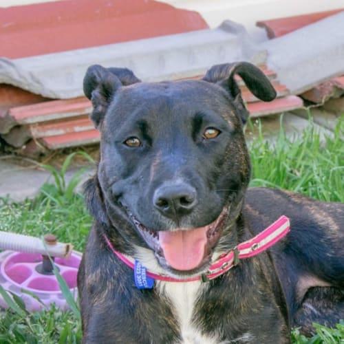Jasmine ~ 9 month old Staffy X  - Staffy Dog