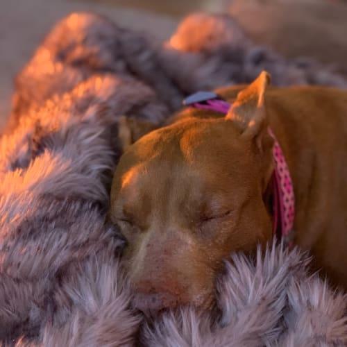 Harley Rose  - American Staffordshire Terrier Dog