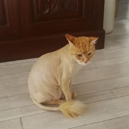Miss Jasper  - Domestic Long Hair Cat