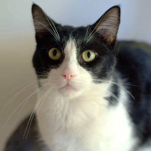 Munchkin - Domestic Short Hair Cat