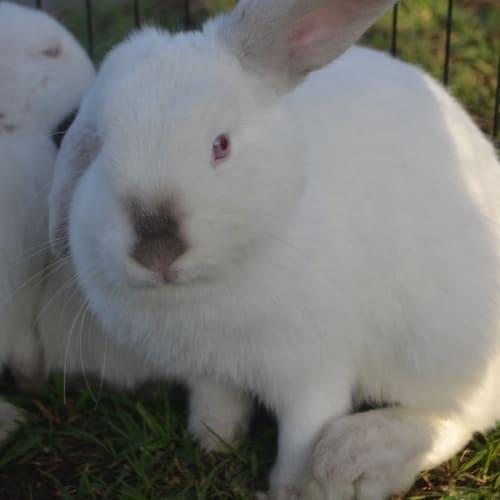 Lunar - Dwarf lop Rabbit