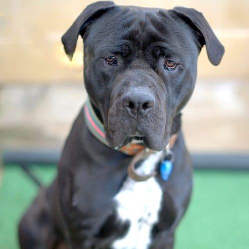 Hugo - Mastiff Dog