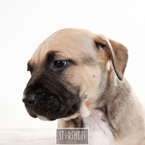 Coco  - Staffy Dog
