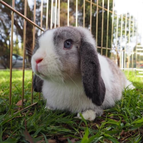 Dumbo - Dwarf lop Rabbit