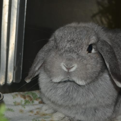 Juniper - Dwarf lop Rabbit