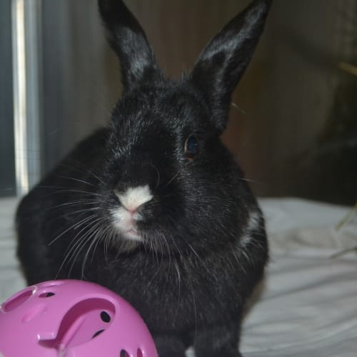 Quill - Dwarf Rabbit