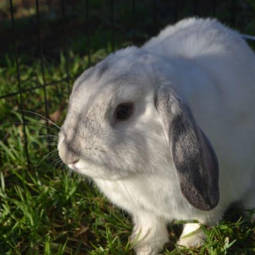 Snowflake - Dwarf lop Rabbit