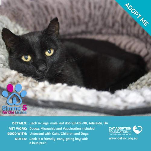 Jack 4 Legs - Domestic Short Hair Cat