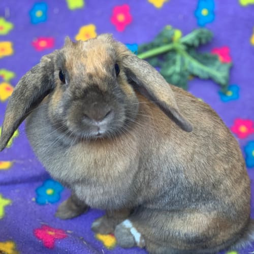 Bluebell - Mini Lop Rabbit