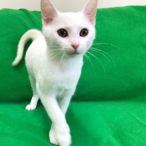 Sugarbaby - Domestic Short Hair Cat