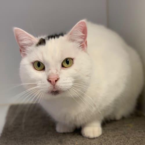 Frosty SUA004118 - Domestic Short Hair Cat