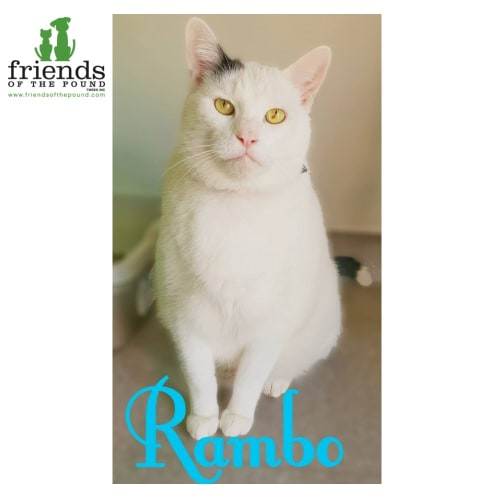 Rambo - Domestic Short Hair Cat