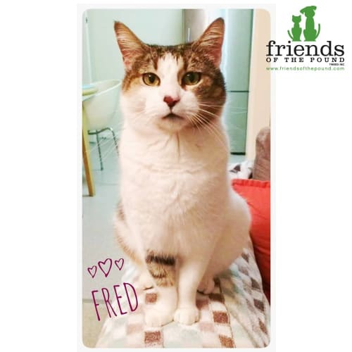 Fred - Domestic Short Hair Cat