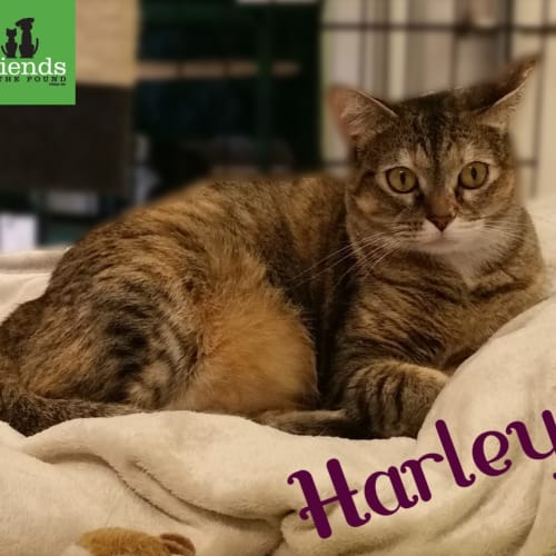 Harley - Domestic Short Hair Cat