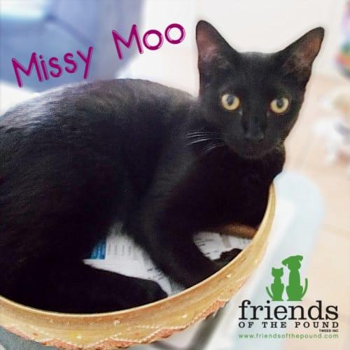 Missy Moo - Domestic Short Hair Cat