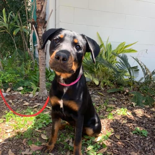 Hanna - Kelpie x Rottweiler Dog