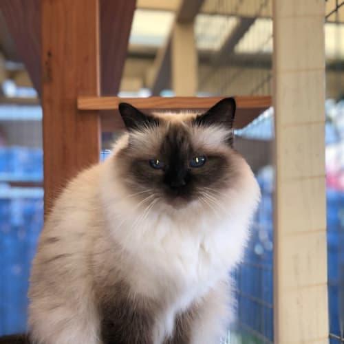 Gracie and Lucy - Birman Cat