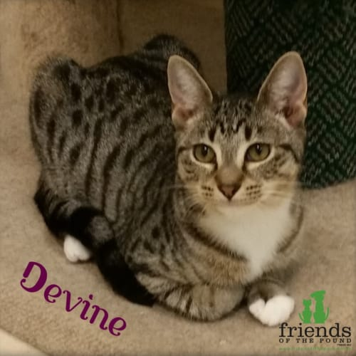 Devine - Domestic Short Hair Cat