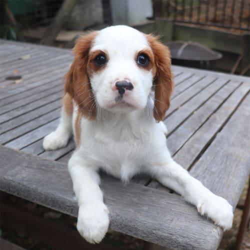 Artemis - Cavalier King Charles Spaniel Dog